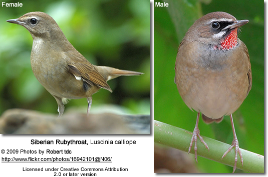 Siberian Rubythroat - Left: Female; Right: Male