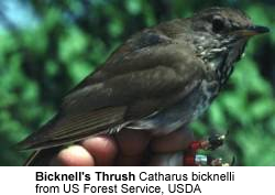 Bicknell's Thrushes