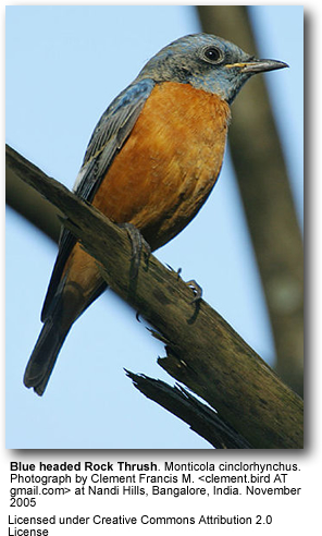Blue-headed Rock-thrush
