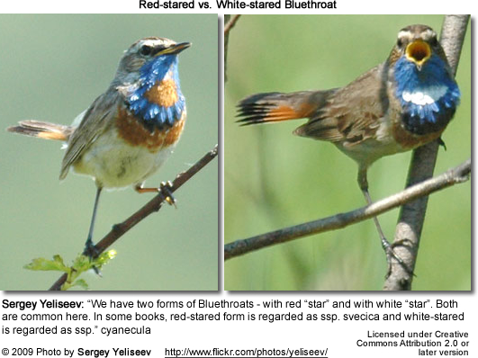 Blue-throat Comparison