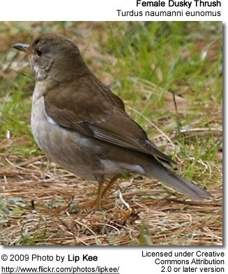 Female Dusky Thrush