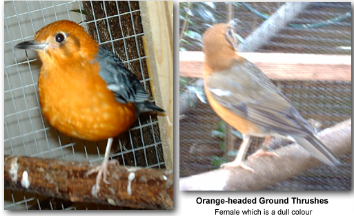 Orange-headed Ground Thrushes