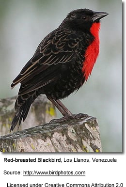 Red-breasted Blackbirds