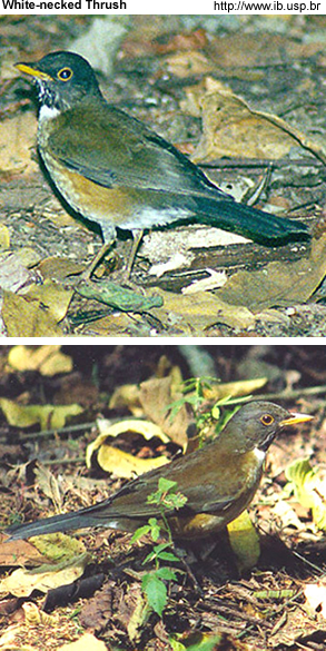 White-necked Thrushes