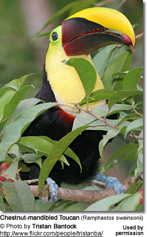 Swainson Toucan or Chestnut-mandibled Toucan