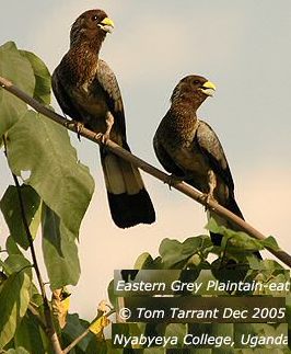 Eastern Grey Plantain-eaters