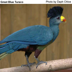 Great Turaco