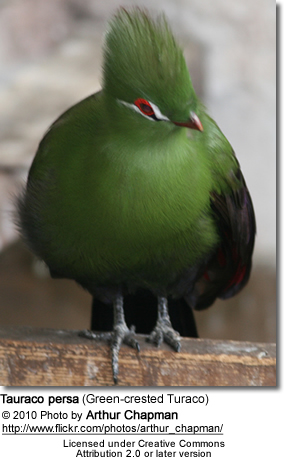 Green Turacos