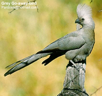 Gray Go-away Bird