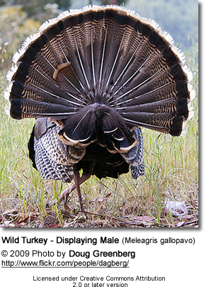 Wild Turkey - Displaying Male (Meleagris gallopavo) - from back