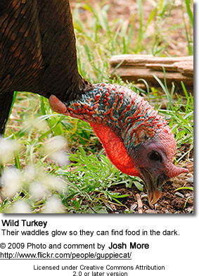 Wild Turkey Waddles