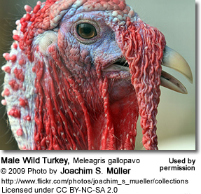Wild Turkey male waddles
