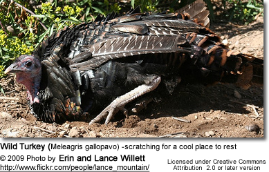 Wild Turkey (Meleagris gallopavo) -scratching for a cool place to rest