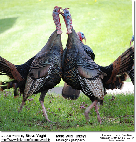 Wild Turkeys Dancing