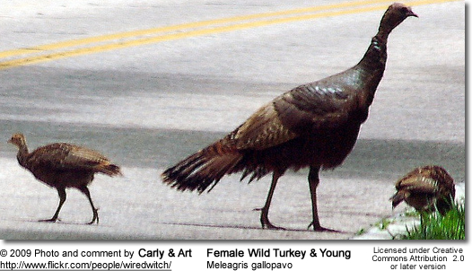 Wild Turkey Female and  Young