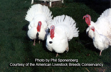Beltsville Small White Turkeys