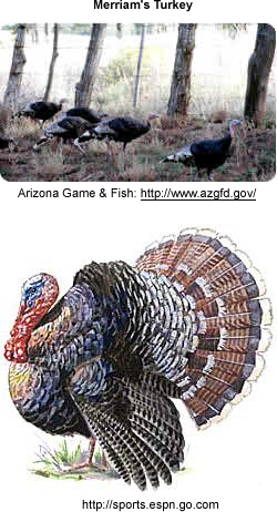 Merriam's Turkeys