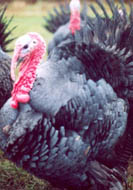 Norfolk Black Turkey