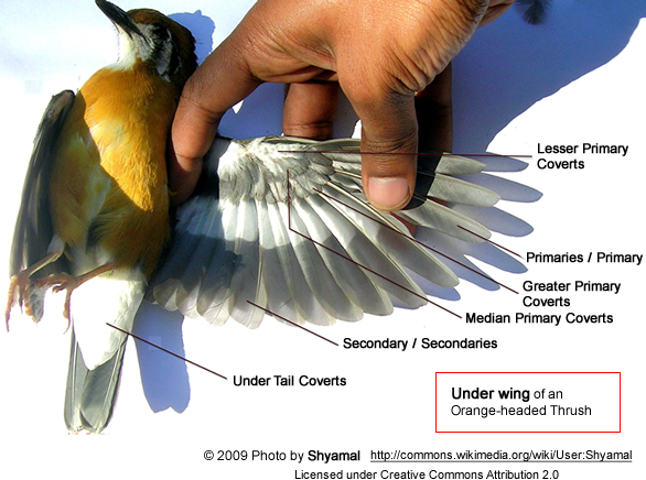 Under Bird Wing Anatomy