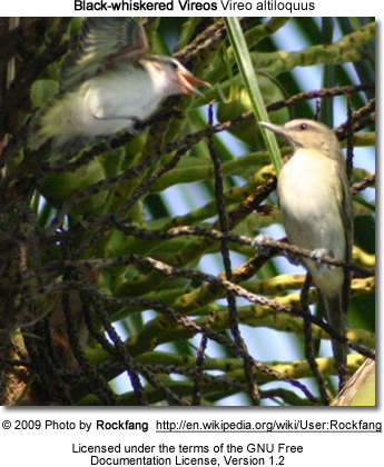 A pair of Black-whiskered Vireos