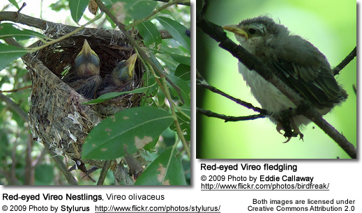 Red-eyed Vireo Chicks and Fledgling
