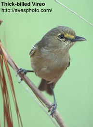 Thick-billed Vireo