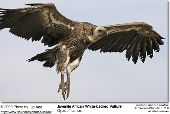 Juvenile African White-backed Vulture
