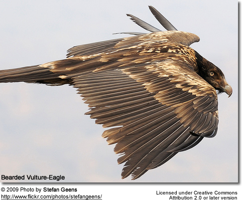 Bearded Vulture-Eagle