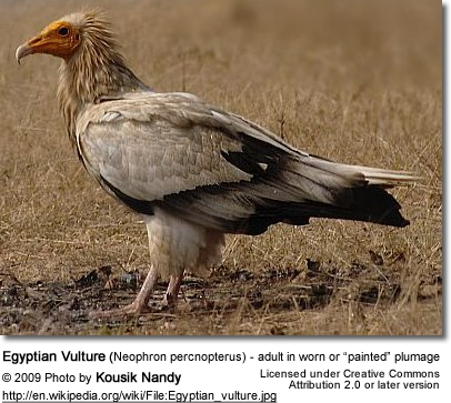 "Egyptian Vulture in ""painted"" plumage"