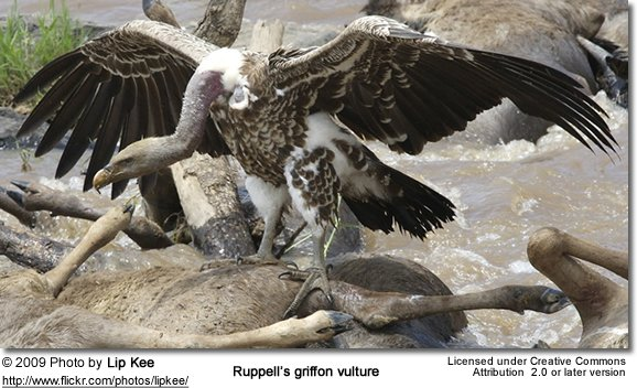 Feeding Ruppell's Vulture