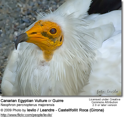 Canarian Egyptian Vulture (Neophron percnopterus majorensis), or Guirre