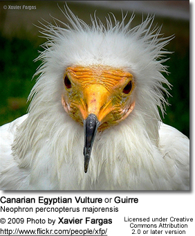 Canarian Egyptian Vulture or Guirre