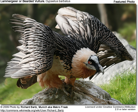 Lammergeier or Bearded Vulture, Gypaetus barbatus