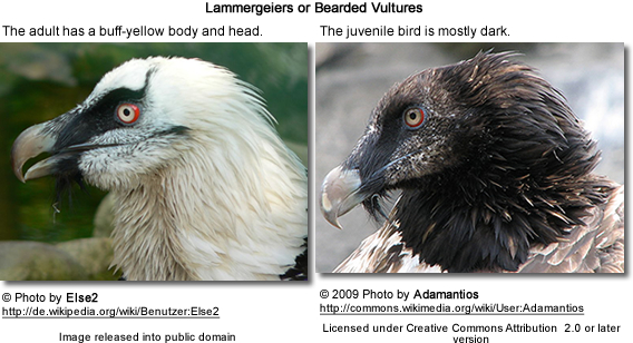 Lammergeiers: Below left; Adult head detail; below right: Juvenile head detail