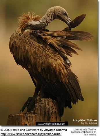 Long-billed Vulture preening