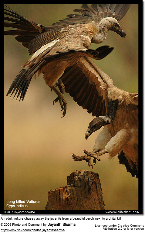 Long-billed Vulture, Gyps indicus fighting