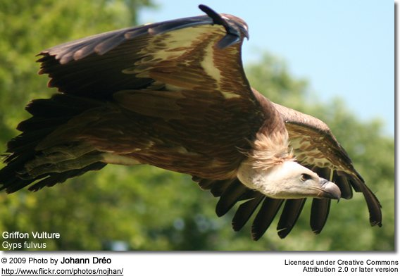 Griffin Vulture in flight