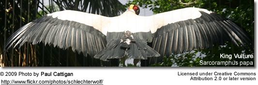 King Vulture with spread wings