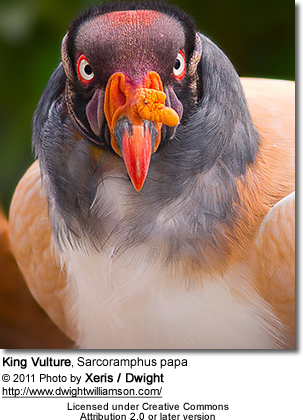 American King Vulture