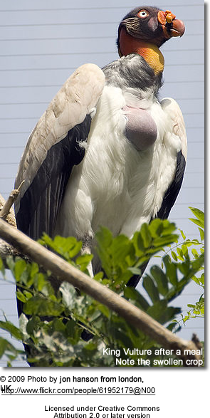 King Vulture after a meal - note the swollen crop