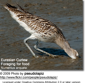 Eurasian Curlew foraging for food in the mud