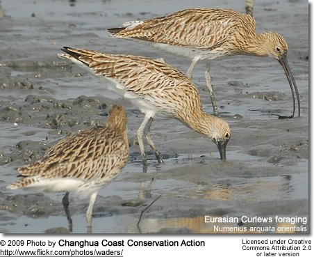 Eurasian Curlews foraging for food