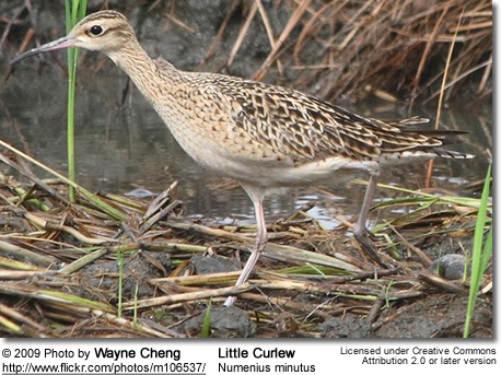 Little Curlew, Numenius minutus