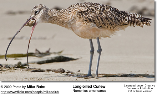 Long-billed Curlew, Numenius americanus feeding