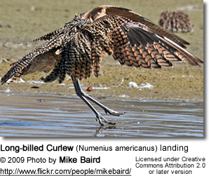 Long-billed Curlew (Numenius americanus) landing