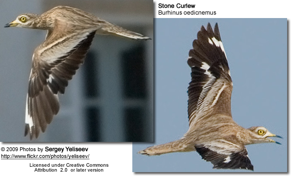 Stone Curlews in fligbht