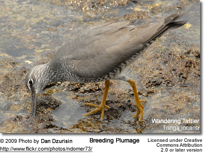 Wandering Tattler forging for food