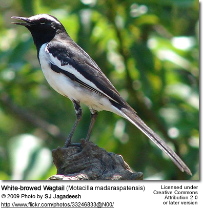 White-browed Wagtail, also known as the Large Pied Wagtail, Motacilla madaraspatensis