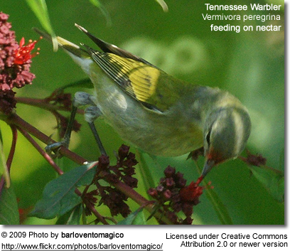 Tennessee Warbler feeding on nectar