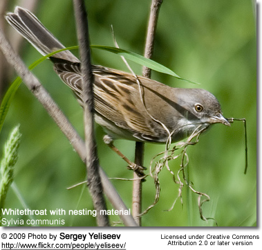 Whitethroat with nesting material